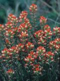 Castilleja indivisa (Texas indian paintbrush) | NPIN