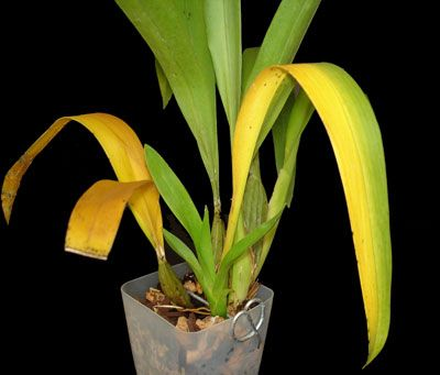 yellow orchid leaves on an oncidium grow it girl pinterest yellow orchids and yellow orchid. Black Bedroom Furniture Sets. Home Design Ideas