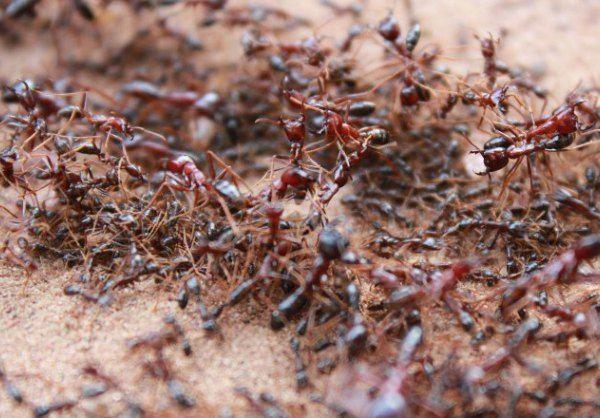 Siafu - African Ants - Dorylus