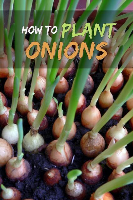 Raw or cooked, dried or fresh, onions are an essential part of a variety of salads, soups and casseroles. They are easy to grow, and a great plant to plant in a corner in your garden. Types Of Onions