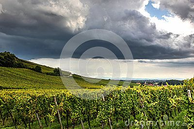 Fields of vineyards with spectacular cover of clouds.
