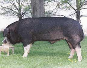 Pig Breeds - Utah Pork