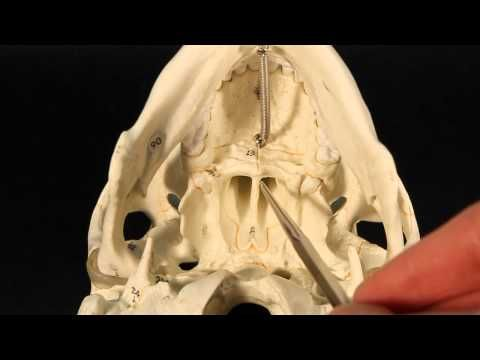 best 20+ sphenoid bone ideas on pinterest | facial bones, anatomy, Human Body
