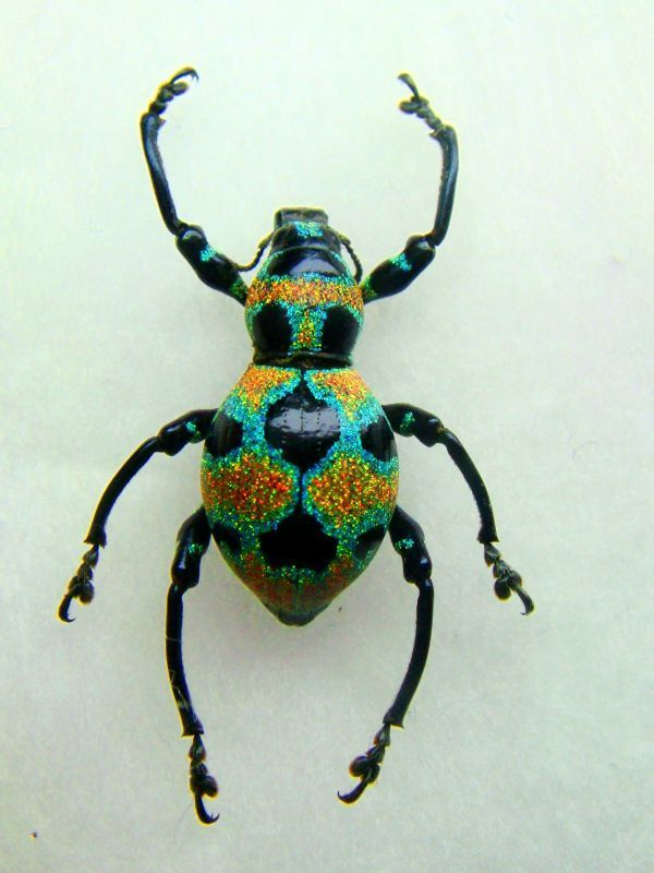 The Polka Dotted Clown Weevil (Pachyrrhynchus orbifer): one of the most spectacular weevils in the world, with its exoskeleton decorated n iridescent scales that give it the appearance of being covered in glitter.