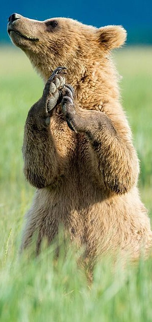 PRAY THIS BEAR CUB TO GOD ?????  #Foto von Glatz Nature Photography von Flickr