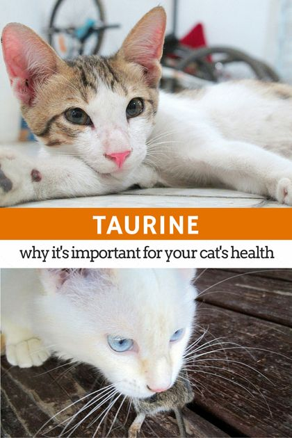 Taking care persian cats diet