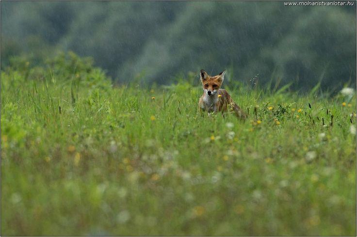figyelő vörös róka