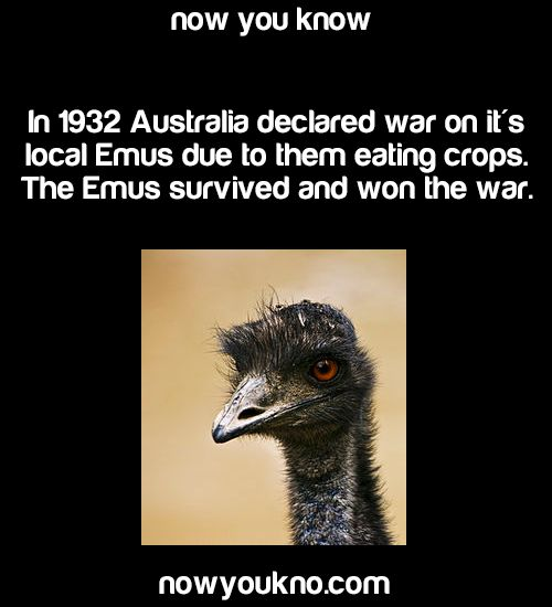 beastie131313:  dimension-of-lols:  nowyoukno:  Source for more facts follow NowYouKno     I think the Honey Badger has a little competition.  Nah the badass honey badger don't take no shit from an emu