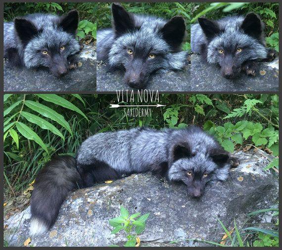 Custom OOAK Soft mount Taxidermy Fox by VitaNovaTaxidermy on Etsy