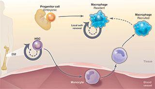 Beyond Stem Cells: Self-Renewal of Differentiated Macrophages Sieweke & Allen.  Science. 2013. http://www.sciencemag.org/content/342/6161/1242974