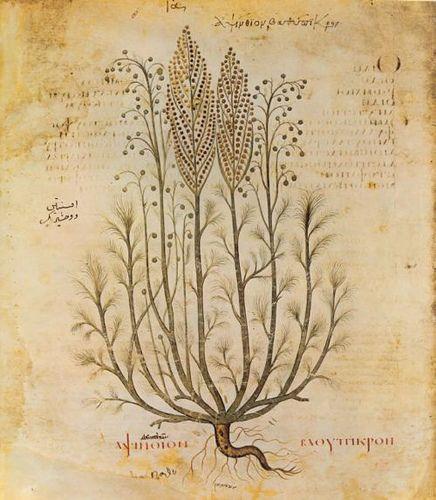 artemisia absinthium: wormwood. This made me think of Artemesia Gentilicci the artist.