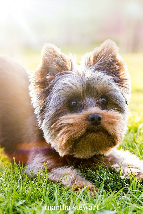 10 Dog Breeds That Look Like Puppies Even When They Re Fully Grown In 2020 Hypoallergenic Dog Breed Dog Breeds Pet Allergies