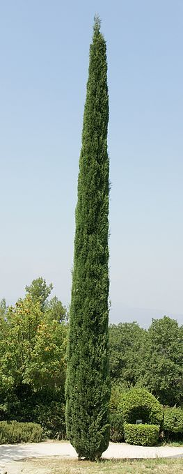 Cupressus Sempervirens, or Italian Cypress... I love this tree!!!