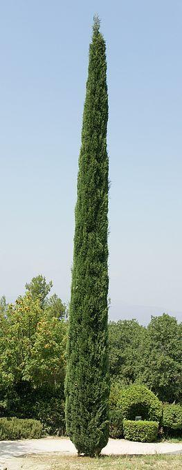 http://faaxaal.forumgratuit.ca/t3195-photo-de-cupressacee-cypres-de-provence-cypres-commun-cupressus-sempervirens-mediterranean-cypress