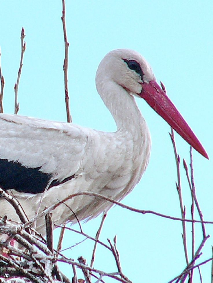 The Stork in the nest waiting for a friend