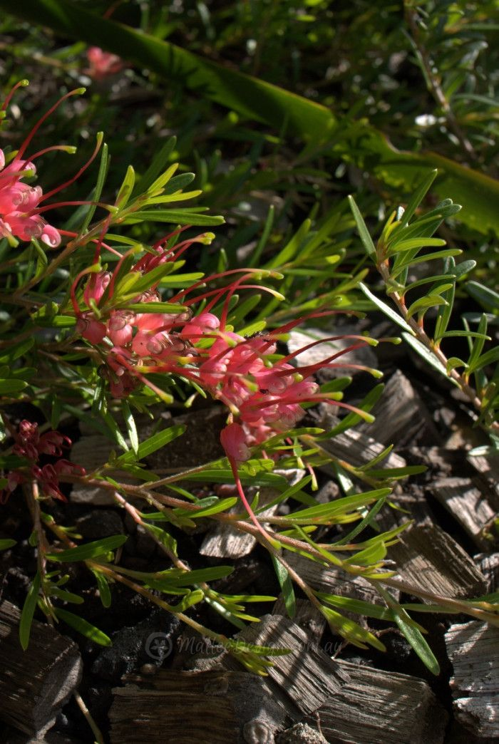 Crazy Carpeting Grevillea ground-covers