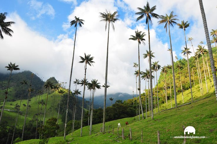 Valle de Cocora, en Salento el corazón del eje cafetero de Colombia. Descarga la foto como salvapantallas alta resolución en // Download the screensaver in: http://www.unmillondeelefantes.com/red-social-viajes/foto-de-la-semana.html