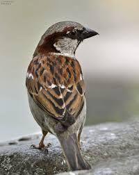 sperling vogel - StartPage by Ixquick Bild Suchen