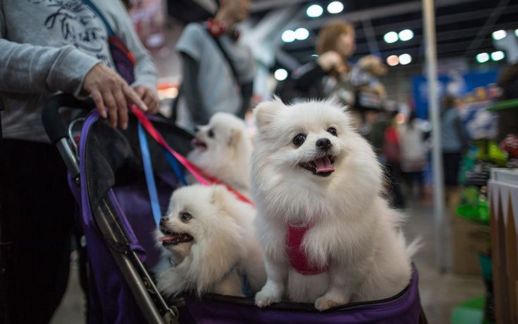 A visitor pushes a dog pram filled with Pomeranians during the Hong Kong Pet Show in Hong Kong, China.