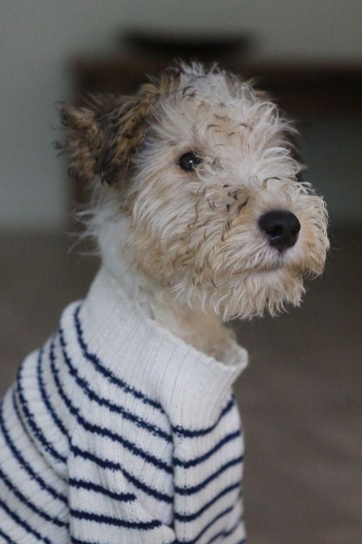 511 best Wire Fox Terrier images on Pinterest | Wire fox terriers ...
