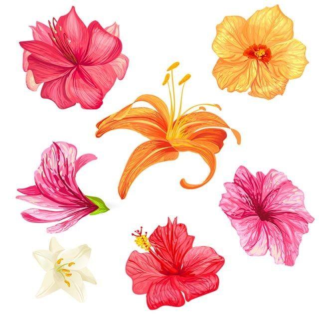 Flores De Hibisco E Lirio Flor Hibiscus Conjunto Imagem Png E Vetor Para Download Gratuito In 2020 Lily Flower Hibiscus Flower Drawing