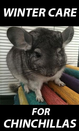 Winter Care for Chinchillas: