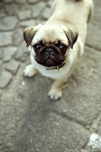 Pug looking up