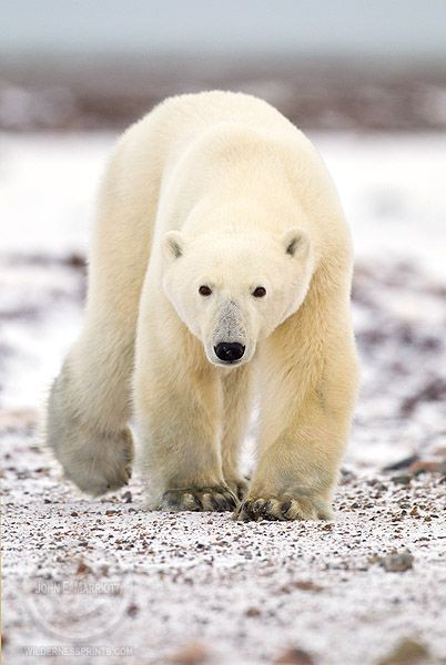 76 best my home images on pinterest nature bays and canada trip polar bear eye level and gorgeous photographed by john e marriott in nunavut sciox Choice Image