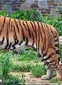 Lichaam en achterpoten zijn van een tijger