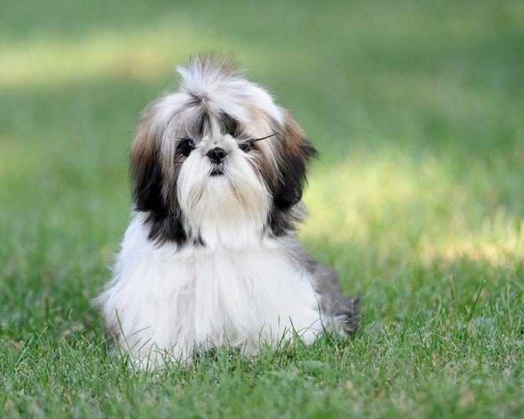 Shih Tzu El Shih Tzu es bueno para la vida en un apartamento. Estos perros son bastante activos en el interior y le hará bien un patio. Esta raza es sensible al calor.Los que están familiarizados con los perros Shih Tzu no se sorprenderán al saber que estos perros reales …