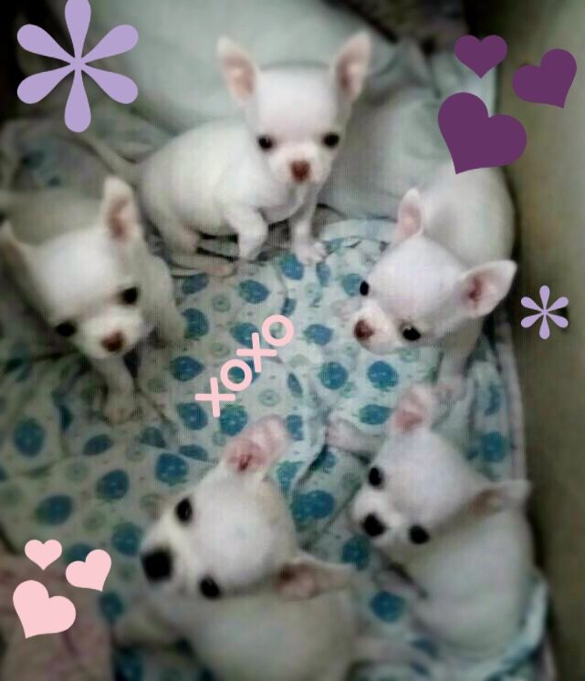 White Baby Chihuahuas Baby Chis Sooo Tiny Baby Chihuahua Cute