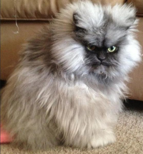 Colonel Meow the evil kitty LOL.oh my!