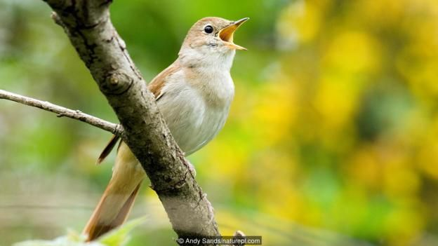 A male nightingale (Luscinia megarhynchos) in full song (Credit: Andy…