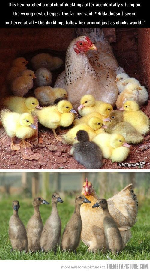 Chicken adopts baby ducks…
