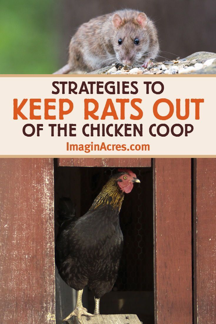 Keep Rats Out Of The Chicken Coop In 2020 Chicken Coop Chickens Backyard Raising Backyard Chickens