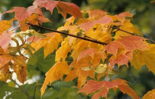 A l'automne, les grands érables resplendissent de couleurs flamboyantes. Ici, l'Erable plane