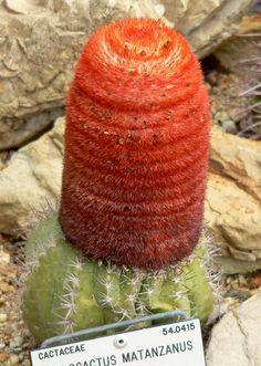 Cephalium, Melocactus Matanzanus