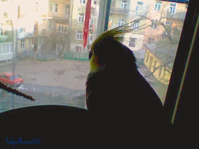 попугай-философ Проша смотрит на улицу с окна балкона в доме во Львове, автор Vadym Aksonov