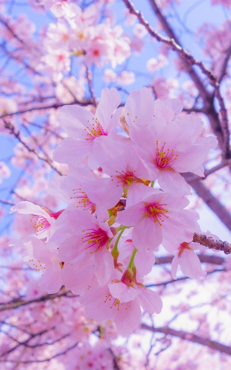 Nature Photography Flowers Cherry Blossom Wallpaper Nature Photography Flowers Flower Lockscreen