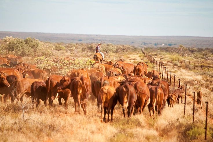 Stationed beside Ningaloo Reef in Western Australia's West Pilbara, Tim and Edwina Shallcross from Bullara Station are developing a robust pastoral business underpinned by three diverse enterprises – reef, beef and Damara sheep.