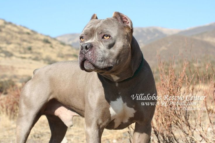 Pitbull lovers dating site