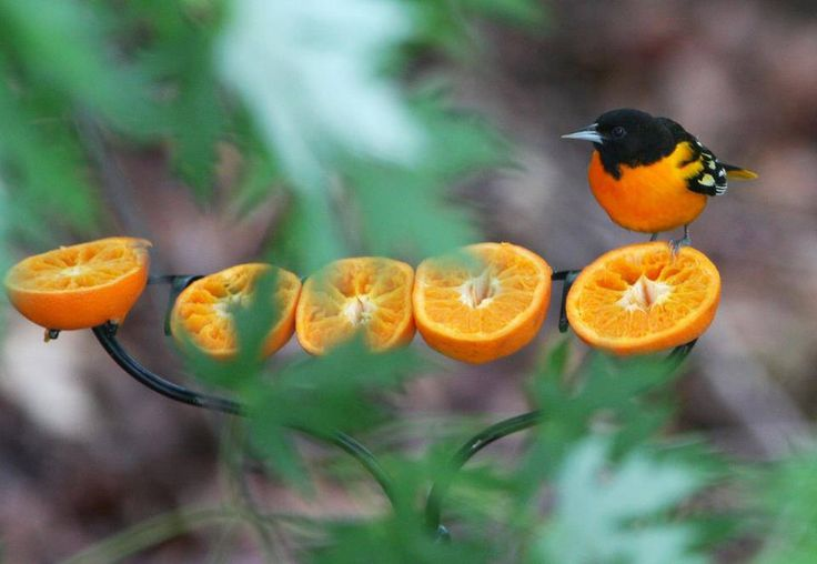 What a great idea ~ use a garden rake to mount oranges on for your fruit-loving birds!  I probably would tie this to a tree that's close by so you could observe the birds while they're eating.