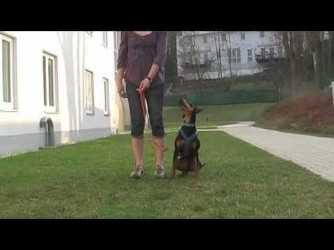 Das Gehen an lockerer Leine ist für Hund und Hundehalter nicht gerade einfach zu lernen, daher gibt es auch so viele Hunde, die ziehen. Hier wird gezeigt, wi...