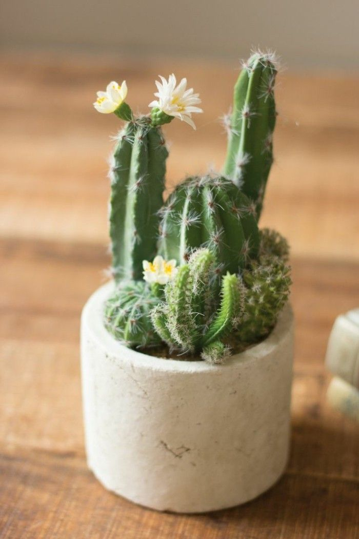 types of Cactus plant home ideas decorate succulent species