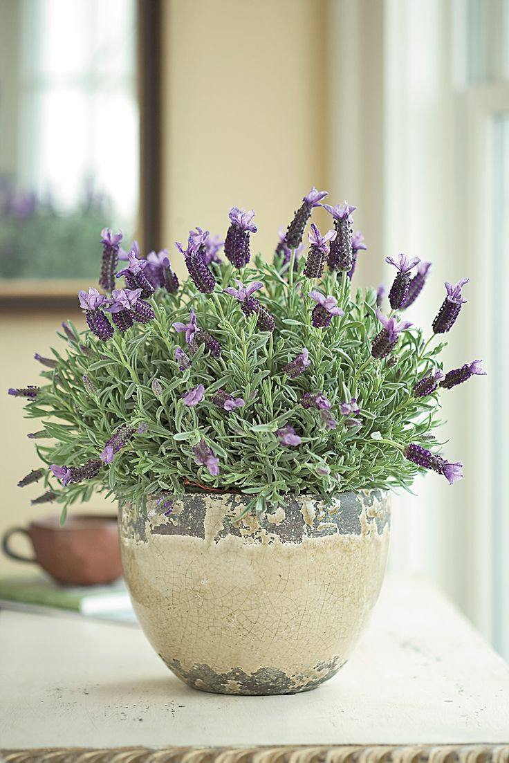 "Lavender INDOOR. The scent of lavender is well known for its power to relieve stress and insomnia. This pot of Spanish lavender arrives in bud and bloom, ready to sit near a sunny window and release its wonderful scent. It arrives in an 8"" diameter rustic ceramic cachepot, and can be planted outdoors in the spring."