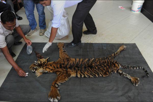 Autoridades de Indonesia detienen a 4 hombres por matar a tigre de sumatra. Visite nuestra página y sea parte de nuestra conversación: http://www.namnewsnetwork.org/v3/spanish/index.php #nnn #bernama #tigre #noticias #news #malasia #malaysia #indonesia #pics #hunting #cazar