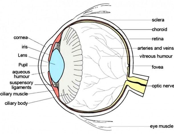 Labeled Eye Diagram Human Eye Diagram Eye Anatomy Eye Structure