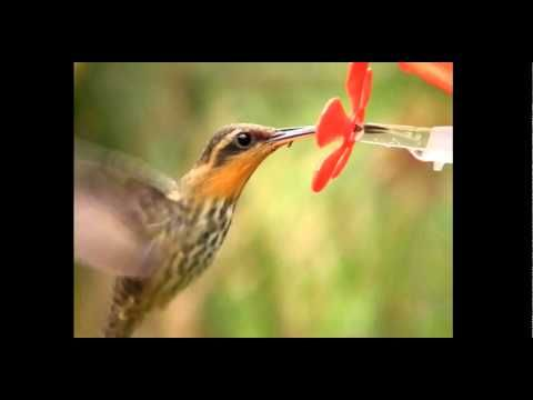 Hummingbirds Feeding - Using these first-ever high-speed, high-definition videos of hummingbird feeding, Ecology and Evolutionary Biology graduate student Alejandro Rico-Guevara discovered that the 180-year-old theory of how hummingbirds drink nectar is actually false.
