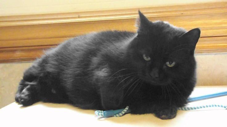 Big Beautiful  Black Bombay Cat Chattering