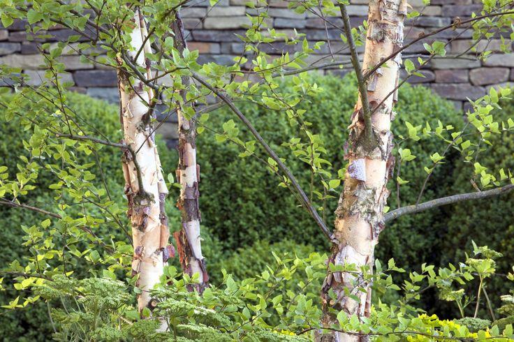 Betula Nigra: Growing River Birch